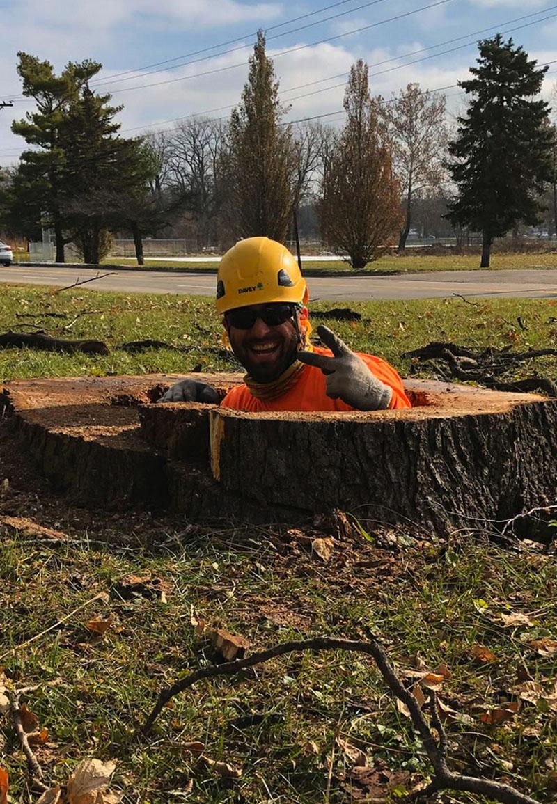 David in a tree stump